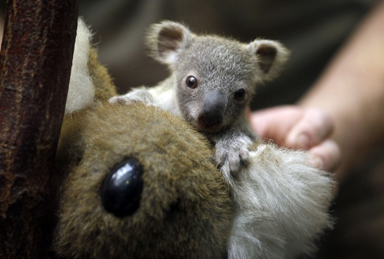 A koala joey hangs onto a toy koala during a weighing procedure at the zoo in the western German city of Duisburg January 22, 2014. The Koala baby, which was born on July 2, 2013, weighs 350 grams, has yet to be named. (Ina Fassbender/Reuters)