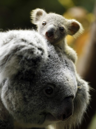 A koala joey hangs onto its mother Eola after a weighing procedure at the zoo in the western German city of Duisburg January 22, 2014. The Koala baby, which was born on July 2, 2013, weighs 350 grams, has yet to be named. (Ina Fassbender/Reuters)