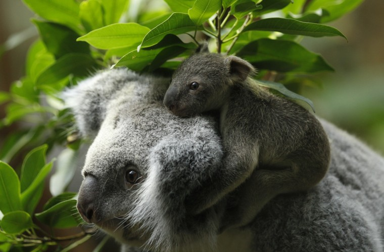 A koala joey hangs on his mother Eola after a weighing procedure at the zoo in the western German city of Duisburg January 22, 2014. The Koala baby, which was born on July 2, 2013, weighs 350 grams, has yet to be named. (Ina Fassbender/Reuters)