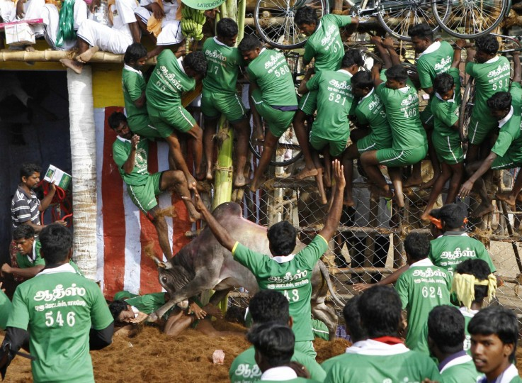 Villagers are pinned down by a bull as others climb a fence to protect themselves during a bull-taming festival on the outskirts of Madurai town, about 500 km (310 miles) from the southern Indian city of Chennai. The annual festival is part of south India's harvest festival of Pongal.(Babu/Reuters)