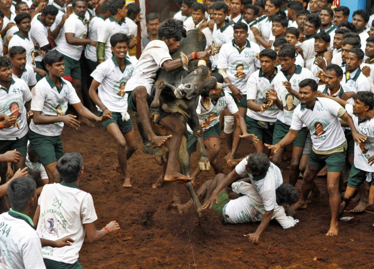 A villager tries to control a bull during a bull-taming festival on the outskirts of Madurai town, about 500 km (310 miles) from the southern Indian city of Chennai January 16, 2014. The annual festival is part of south India's harvest festival of Pongal. (REUTERS/Babu)