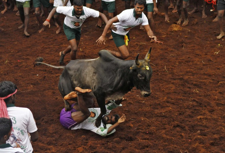 A villager is pinned down by a bull during a bull-taming festival on the outskirts of Madurai town, about 500 km (310 miles) from the southern Indian city of Chennai January 16, 2014. The annual festival is part of south India's harvest festival of Pongal. (REUTERS/Babu)