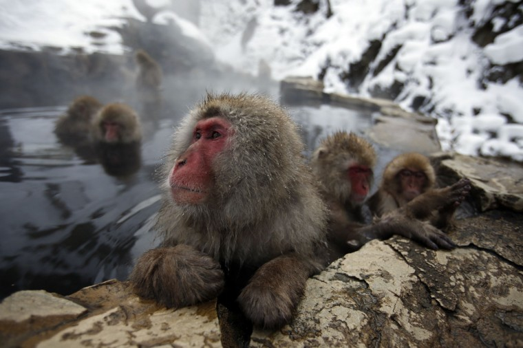 A Japanese Macaque (or Snow Monkey) soaks in a hot spring at a snow-covered valley in Yamanouchi town, central Japan. (Issei Kato/Reuters)