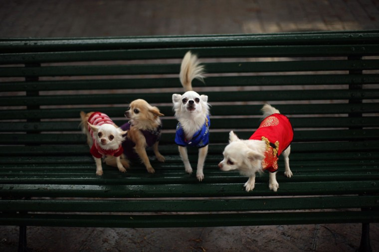 Pet dogs, Kitty (L-R), Toby, Luna and Ariel, are placed on a bench by their owners before they are blessed by a priest outside San Anton church in Churriana, near Malaga, southern Spain, January 17, 2014. Pet owners bring their animals to be blessed every year on the day of San Anton, Spain's patron saint of animals. (REUTERS/Jon Nazca)