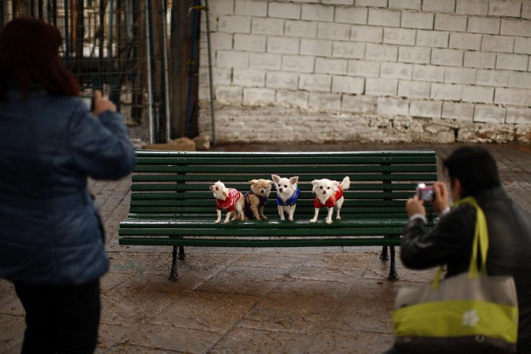 Pet dogs, Kitty (L-R), Toby, Luna and Ariel, are placed on a bench by their owners for a photo before they are blessed by a priest outside San Anton church in Churriana, near Malaga, southern Spain, January 17, 2014. Pet owners bring their animals to be blessed every year on the day of San Anton, Spain's patron saint of animals. (REUTERS/Jon Nazca)