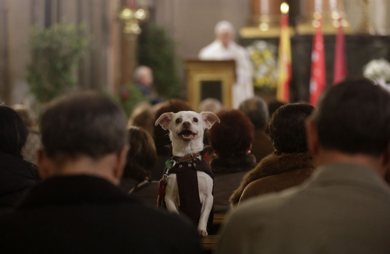 A dog takes part in a mass at San Anton Church in Madrid January 17, 2014. Hundreds of pet owners bring their animals to be blessed every year on the day of San Anton, Spain's patron saint of animals. (REUTERS/Andrea Comas)