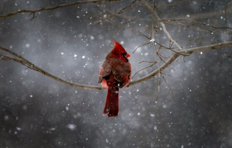 A Northern Cardinal sits on a tree branch in falling snow in the New York City suburb of Nyack, New York January 21, 2014. A fast moving winter storm was forecast to dump as much as a foot of snow on the northeastern United States on Tuesday with winter storm warnings and advisories issued from the central Appalachian Mountains north to southern New England. (REUTERS/Mike Segar)
