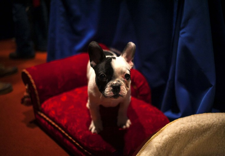 A French Bulldog puppy poses for a portrait at the American Kennel Club (AKC) in New York January 31, 2014. The AKC announced its most popular breeds of dogs Friday, with the Labrador Retriever taking the top spot and the French Bulldog seeing a significant rise in ownership. (REUTERS/Eric Thayer)