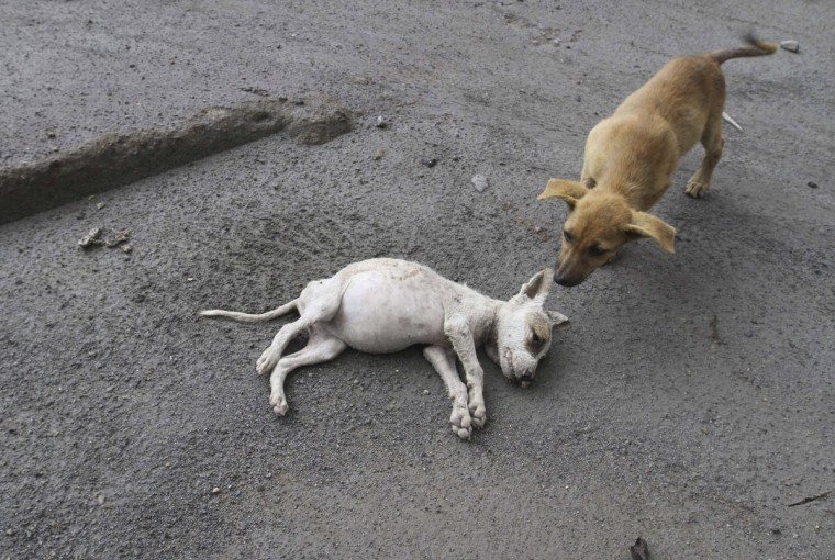 A dog stands near a dead dog in the evacuated Mardingding village in Karo district, Indonesia's North Sumatra province, November 28, 2013. (REUTERS/Roni Bintang)