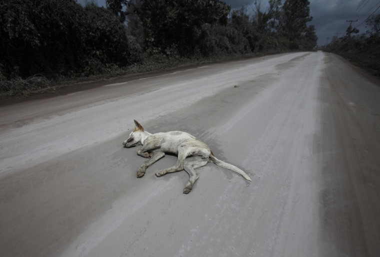 A dead dog lies on a street covered in ash from Mount Sinabung volcano at Tiga Pancur village in Karo district, Indonesia's North Sumatra province, January 8, 2014. (REUTERS/YT Haryono)