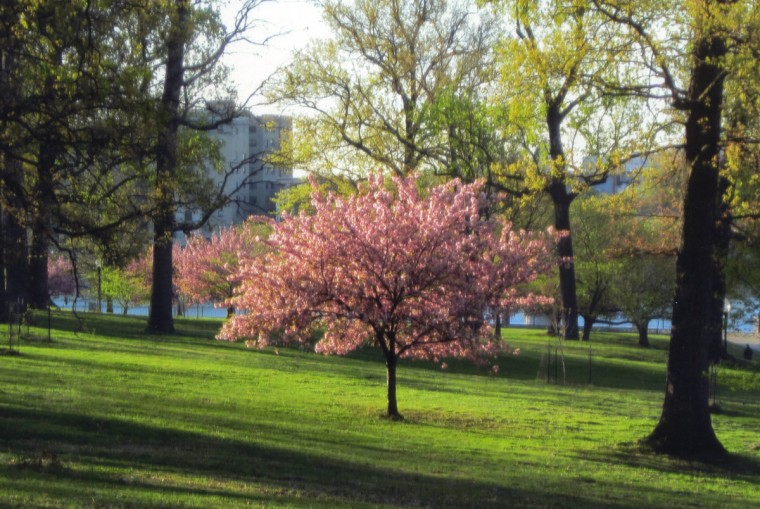 """Cherry Tree ..."" The seasons show in one pretty tree between Druid Reservoir Lake and the Columbus Pavilion. The Kanzan Japanese cherry tree has pink blossoms in April, turns green in spring and summer, becomes yellow and brown in fall and stands a skeleton signaling winter near year's end. New trees are planted, giving hope to the park. (Ernie Imhoff/For The Baltimore Sun)"