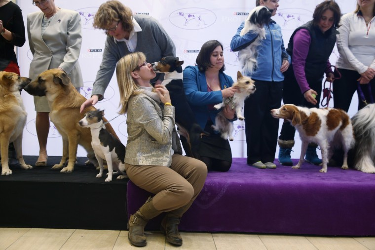 New breeds of dogs are displayed by their owners ahead of the 138th Westminster Kennel Club Dog Show on February 6, 2014 at Madison Square Garden in New York City. Three new breeds, the Chinook, the Portugese Podengo Pequeno and the Rat Terrier, (C), are eligible to compete for the first time in the show, to be held February 10-11 at Madison Square Garden. This is also the first year for the Masters Agility Championship at Westminster, to be held this Saturday at Pier 94 in New York, ahead of the larger main event.  (Photo by John Moore/Getty Images)
