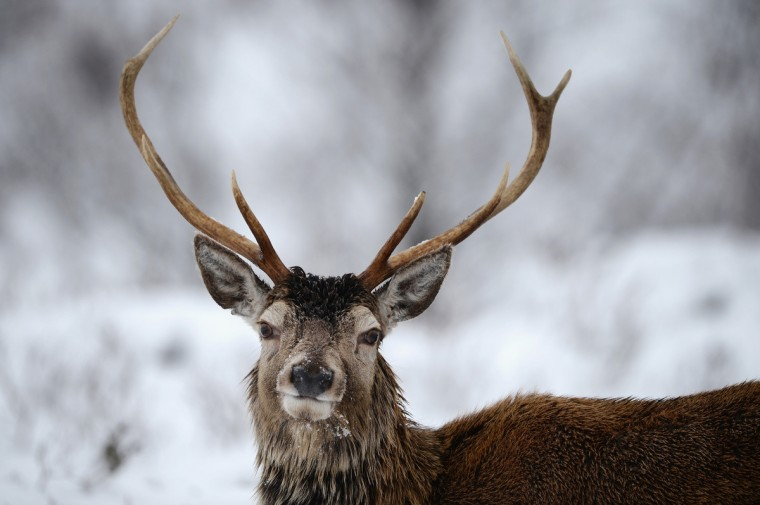 Red Deer in Glen Coe