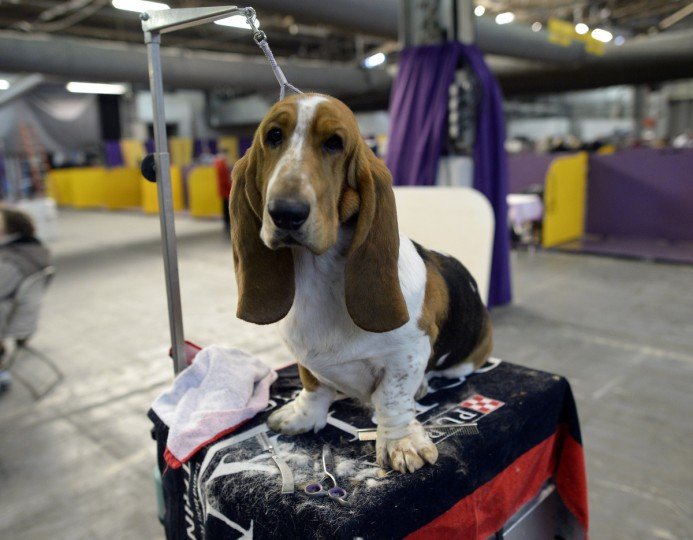 A Basset Hound waits in the benching area at Pier 92 and 94 in New York City for the first day of competition at the 138th Annual Westminster Kennel Club Dog Show February 10, 2014. The Westminster Kennel Club Dog Show is a two-day, all-breed show that takes place at both Pier 92 &94 and at Madison Square Garden in New York City. (Timothy Clary/Getty Images)