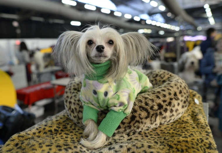 A Chinese Crested waits in the benching area at Pier 92 and 94 in New York City for the first day of competition at the 138th Annual Westminster Kennel Club Dog Show February 10, 2014. (Timothy Clary/Getty Images)