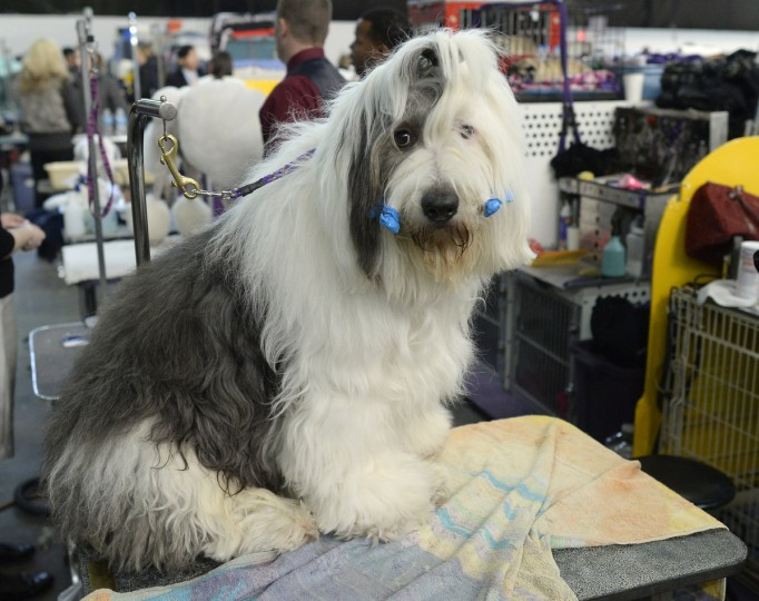 An Old English Sheepdog waits in the benching area at Pier 92 and 94 in New York City for the first day of competition at the 138th Annual Westminster Kennel Club Dog Show February 10, 2014. (Timothy Clary/Getty Images)