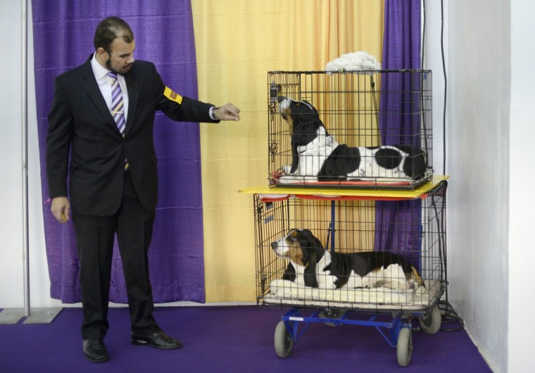 Handler Aaron Costilla with his Basset Hounds waits in the benching area at Pier 92 and 94 in New York City for the first day of competition at the 138th Annual Westminster Kennel Club Dog Show February 10, 2014. (Timothy Clary/Getty Images)