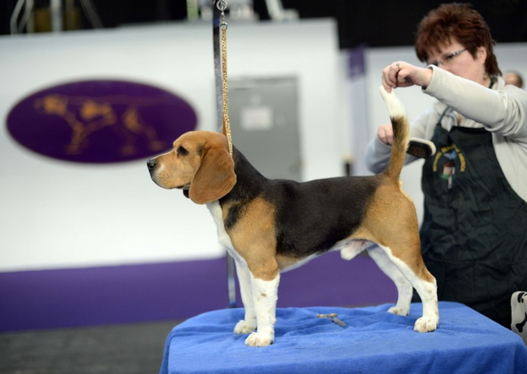 A Beagle is groomed in the benching area at Pier 92 and 94 in New York City for the first day on competition at the 138th Annual Westminster Kennel Club Dog Show February 10, 2014. (Timothy Clary/Getty Images)
