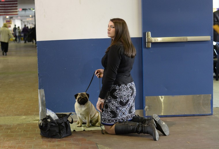 Devon Kipp waits with her Pug for judging to start at Pier 92 and 94 in New York City for the first day of competition at the 138th Annual Westminster Kennel Club Dog Show February 10, 2014. (Timothy Clary/Getty Images)