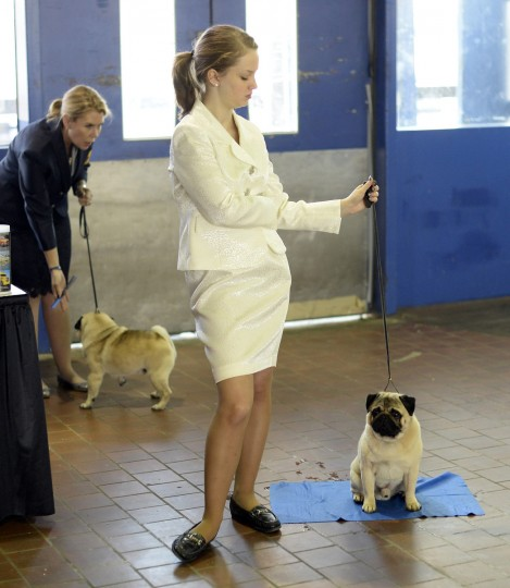 A handler waits with her Pug for judging to start at Pier 92 and 94 in New York City for the first day of competition at the 138th Annual Westminster Kennel Club Dog Show February 10, 2014. (Timothy Clary/Getty Images)