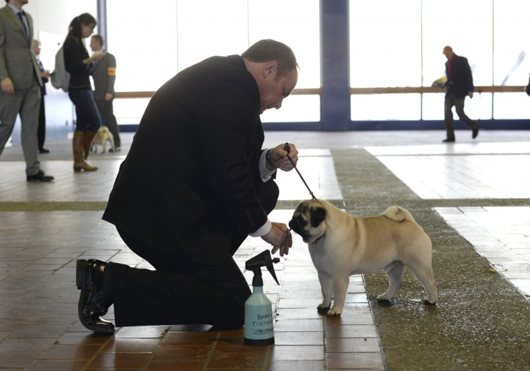 Handler Barry Clothier waits with his Pug for judging to start at Pier 92 and 94 in New York City for the first day of competition at the 138th Annual Westminster Kennel Club Dog Show February 10, 2014. (Timothy Clary/Getty Images)