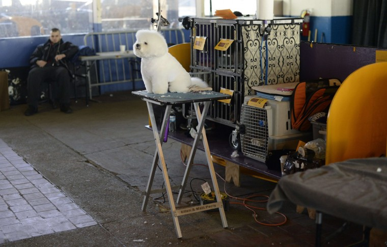 A Bichon Frises waits in the benching area for judging to start at Pier 92 and 94 in New York City for the first day of competition at the 138th Annual Westminster Kennel Club Dog Show February 10, 2014. (Timothy Clary/Getty Images)