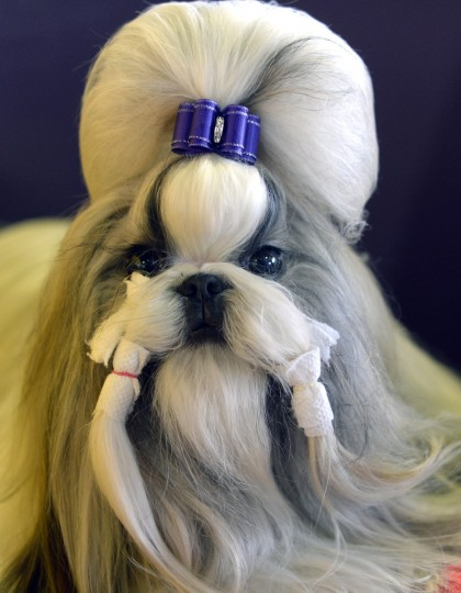 A Shih Tzu waits in the benching area for judging to start at Pier 92 and 94 in New York City for the first day of competition at the 138th Annual Westminster Kennel Club Dog Show February 10, 2014. (Timothy Clary/Getty Images)