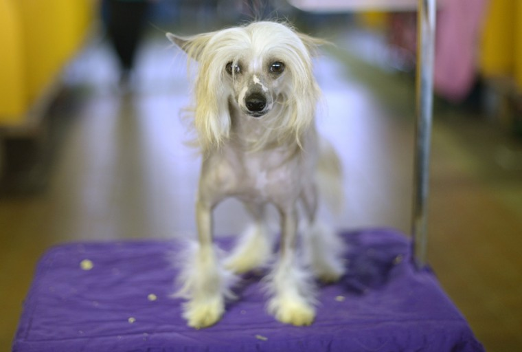 A Chinese Crested waits in the benching area before judging starts at Pier 92 and 94 in New York City for the first day of competition at the 138th Annual Westminster Kennel Club Dog Show February 10, 2014. (Timothy Clary/Getty Images)