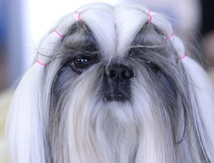 A Shih Tzu waits in the benching area before judging starts at Pier 92 and 94 in New York City for the first day of competition at the 138th Annual Westminster Kennel Club Dog Show February 10, 2014. (Timothy Clary/Getty Images)