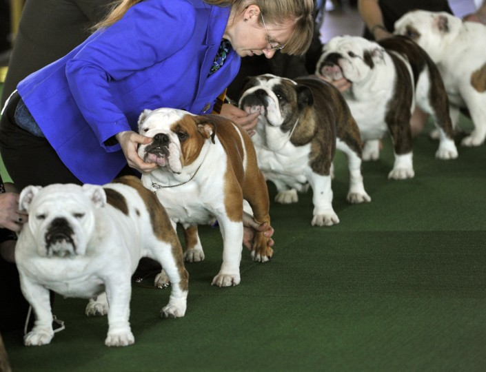 Bulldogs in the judging ring at Pier 92 and 94 in New York City for the first day of competition at the 138th Annual Westminster Kennel Club Dog Show February 10, 2014. (Timothy Clary/Getty Images)