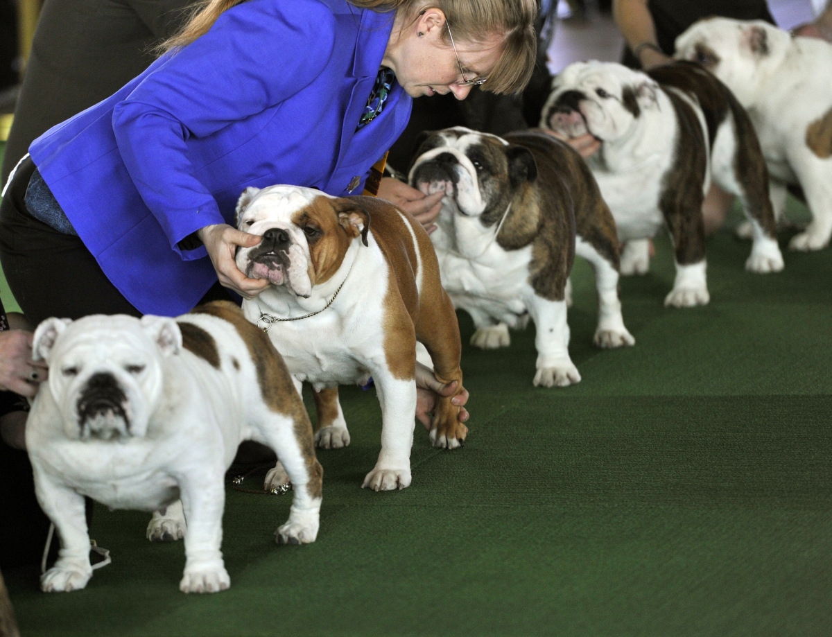 Westminster Dog Show Breed Judging