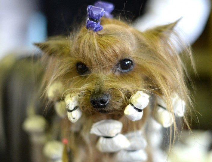 A Yorkshire Terrier in the benching area at Pier 92 and 94 in New York City for the first day of competition at the 138th Annual Westminster Kennel Club Dog Show February 10, 2014. (Timothy Clary/Getty Images)