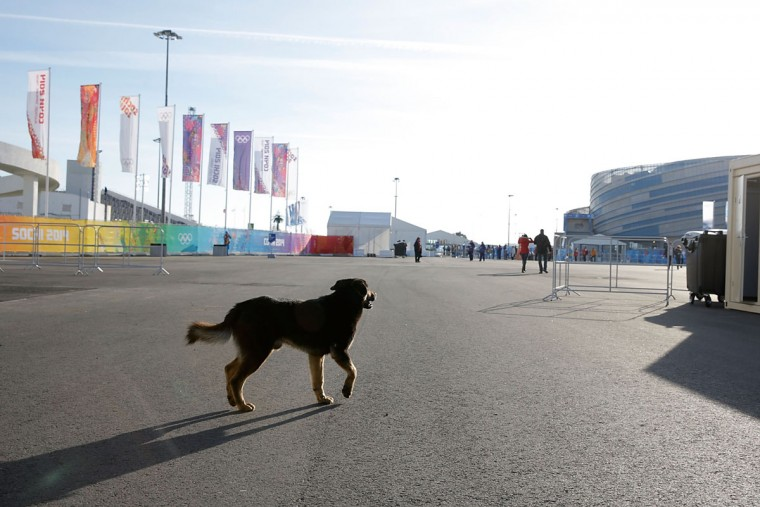 A dog walks in the Olympic Park on Day 1 of the 2014 Winter Olympics on February 8, 2014 in Sochi, Russia. (Photo by Joe Scarnici/Getty Images)
