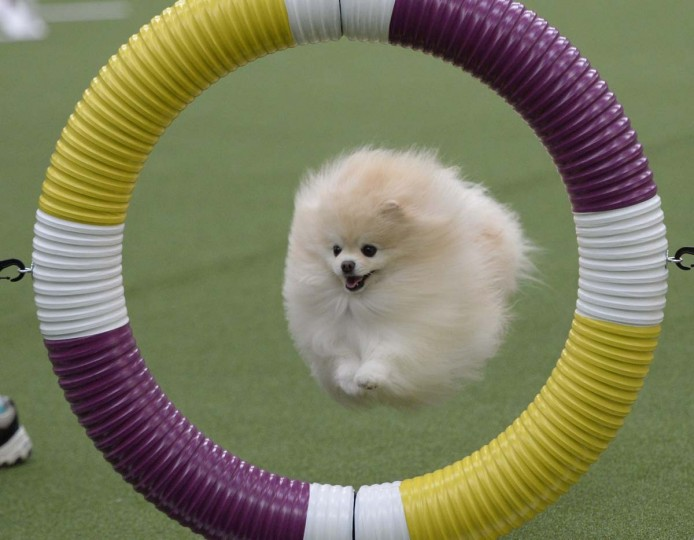 A Pomeranian in the Agility Ring during the first-ever Masters Agility Championship on February 7, 2014 in New York at the 138th Annual Westminster Kennel Club Dog Show. Dogs entered in the agility trial will be on hand to demonstrate skills required to negotiate some of the challenging obstacles that they will need to negotiate. (Timothy Clary/AFP/Getty Images)