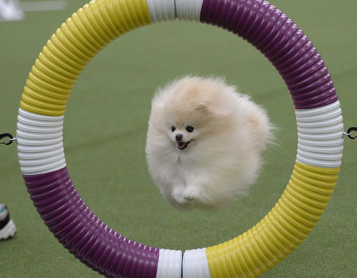 Benched Dog Show >> Feb. 10 Daily Brief: Westminster dog show begins, flooding in the UK and more scenes from Sochi