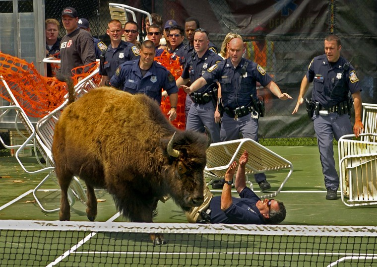 """Pikesville, MD - 2005 - After herding nine escaped bison onto a tennis court, the challenge continued for Baltimore County police. The last bison they were attempting to herd into a truck broke free, trampling a makeshift barrier of lawn chairs and netting, and knocking down a police officer. The nine bison had escaped from a farm in Stevenson. Newspaper work includes many repetitive events, but this was a once-in-a-lifetime """"spot news"""" situation. It was surreal, funny and sad all at the same time, as the bison were very disoriented. (Amy Davis / Baltimore Sun)"""