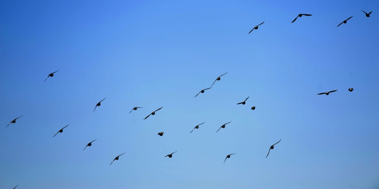 This is a view of a flock of birds in flight as viewed from an upper balcony on the Patterson Park Pagoda. (Barbara Haddock Taylor/Baltimore Sun)