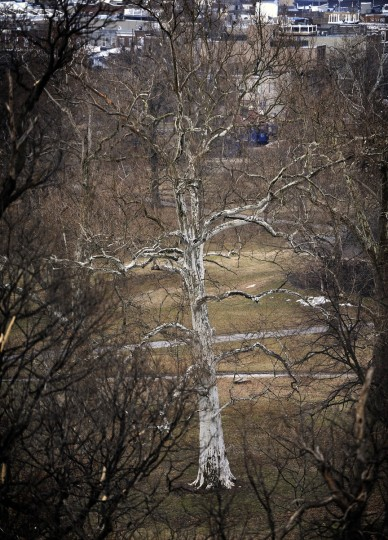 A white tree stands out from its Patterson Park neighbors. This photo was taken from an upper level of the Patterson Park Pagoda. (Barbara Haddock Taylor/Baltimore Sun)