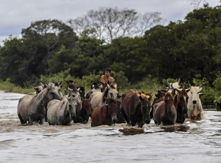 A man herds cattle in flooded Camiaco, some 55 km (34 miles) from Trinidad in the Beni department February 11, 2014. There is end in sight for flood-weary Bolivians as floodwaters continue to sweep across parts of the country and authorities work to rush food and aid to victims. Picture taken February 11, 2014. (REUTERS/David Mercado)