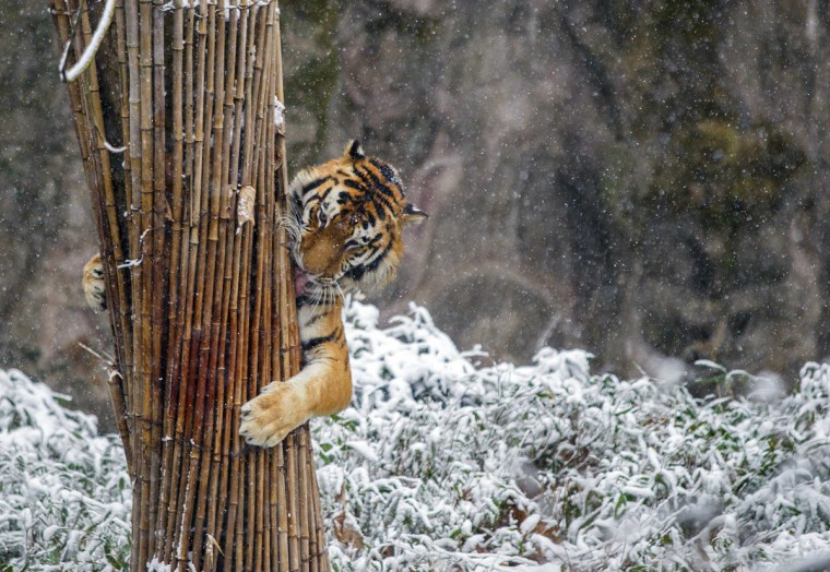 A tiger clutches a stack of bamboo in the snow at a zoo in Hangzhou, Zhejiang province, February 9, 2014. Picture taken February 9, 2014. (Stringer/Reuters)
