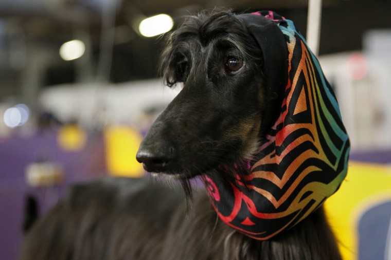 Abbs, an Afghan Hound, stands in the penning area at the 2014 Westminster Kennel Club Dog Show in New York, February 10, 2014. (Shannon Stapleton/Reuters)