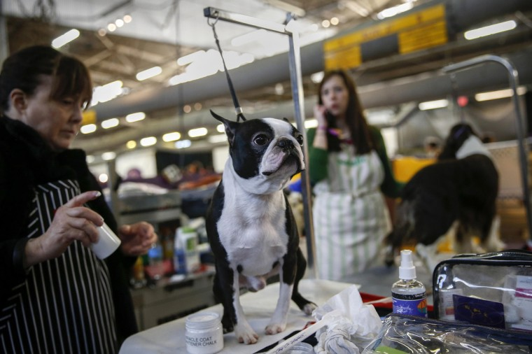 Woody, a Boston Terrier, stands while being groomed in the penning area at the 2014 Westminster Kennel Club Dog Show in New York, February 10, 2014. (Shannon Stapleton/Reuters)