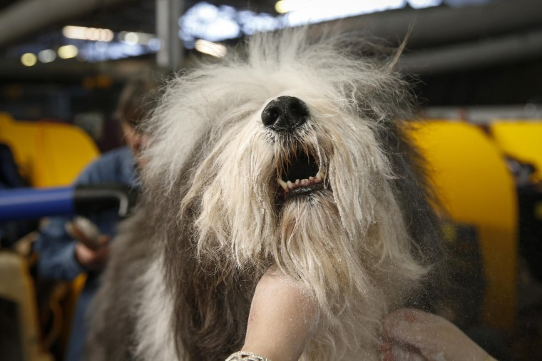Mojo, an Old English Sheepdog, is cleaned in the penning area at the 2014 Westminster Kennel Club Dog Show in New York, February 10, 2014. (Shannon Stapleton/Reuters)