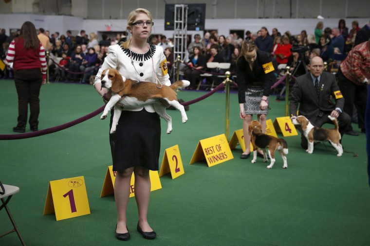 A dog handler holds a Beagle during day one of judging of the 2014 Westminster Kennel Club Dog Show in New York, February 10, 2014. (Shannon Stapleton/Reuters)