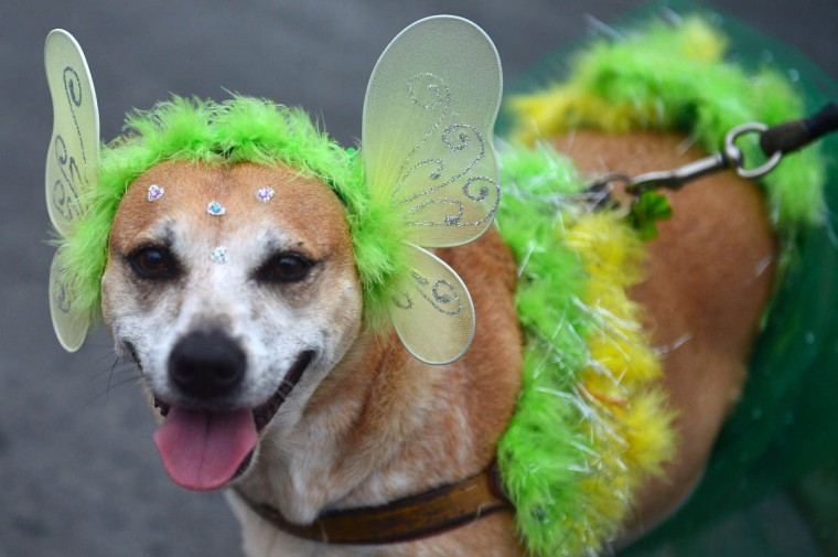 """A dog takes part in the animals' carnival parade """"Blocao"""", at Copacabana in Rio de Janeiro on February 16 , 2014. (Christophe Simon/Getty Images)"""