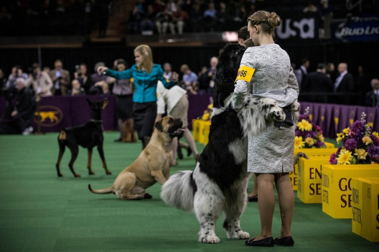A Newfoundland jumps up on its handler while competing in the Westminster Dog Show on February 11, 2014 in New York City. The annual dog show has been showcasing the best dogs from around world for the last two days in New York. (Andrew Burton/Getty Images)