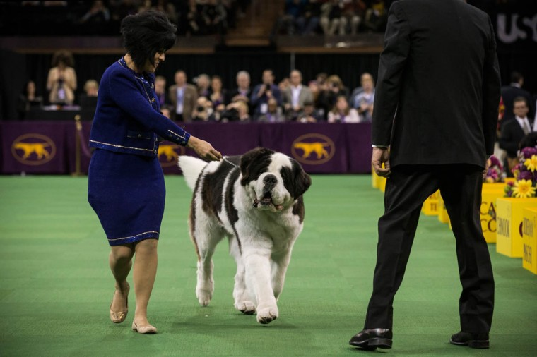 A Saint Bernard competes in the Westminster Dog Show on February 11, 2014 in New York City. The annual dog show has been showcasing the best dogs from around world for the last two days in New York. (Andrew Burton/Getty Images)
