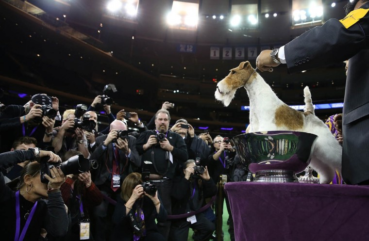 A Wire Fox Terrier named Sky poses for photographers after winning the 138th Annual Westminster Kennel Club Dog Show on February 11, 2014 in New York City. Sky won Best in Show at the 138th Annual Westminster Kennel Club Dog Show. (Justin Sullivan/Getty Images)