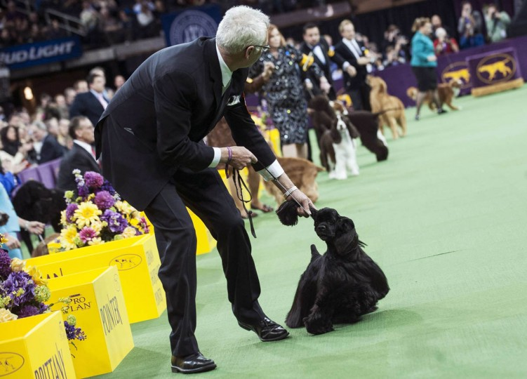 Black cocker spaniel Casablanca's Thrilling Seduction is pulled by the ear by it's handler as it runs through the ring in competition in the Sporting group on the last day of judging of the 2014 Westminster Kennel Club Dog Show in New York February 11, 2014. The top dog in each group will go nose-to-nose at Madison Square Garden in Manhattan in the championship round that concludes one of the oldest sporting events in the United States. (Keith Bedford/Reuters photo)