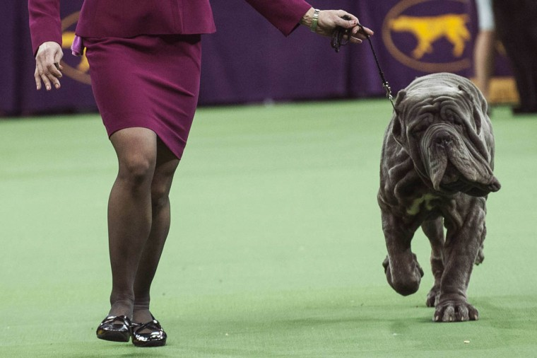 Neapolitan mastiff Ironwood's Papparrazi is run through the ring by his handler as he competes in the working group on the last day of judging of the 2014 Westminster Kennel Club Dog Show in New York February 11, 2014. The top dog in each group will go nose-to-nose at Madison Square Garden in Manhattan in the championship round that concludes one of the oldest sporting events in the United States. (Keith Bedford/Reuters photo)